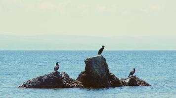 Animal Bird Cormorants on a Rock in Sea video