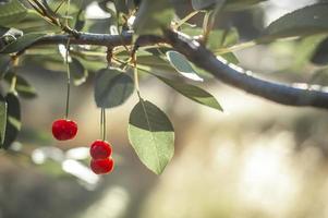 cerezas maduras bajo la brillante luz del sol de la mañana foto