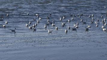 Seagull Flock Taking Off from Blue Ocean Water in Slow Motion video