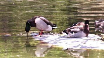 vilda ankor i den vediga gröna sjön video