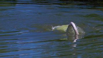 vit svan som flyter ensam i den gröna sjön video