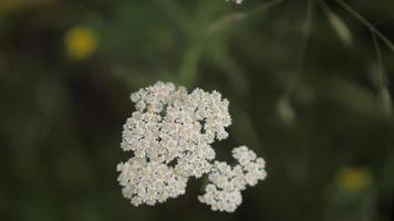 White Yarro. Achilles millefolios. Wild flowers video