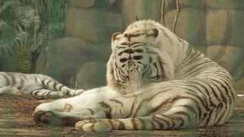 Bengal white tiger washes himself video