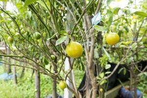 Orange fruit  tree photo