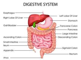 illustration of Healthcare and Medical education drawing chart of Human Digestive System for Science Biology study vector