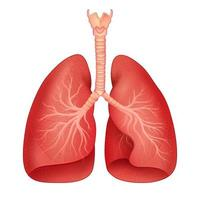 Ilustración del gráfico de dibujo de educación médica y sanitaria de los pulmones humanos para el estudio de la biología científica vector