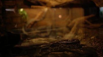 Boa in terrarium Boa constrictor Linnaeus video