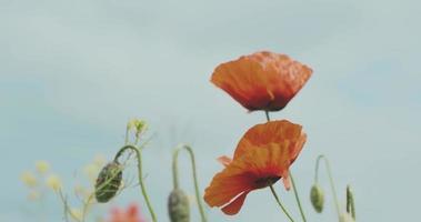 duas flores de papoula vermelhas abertas e dois botões video