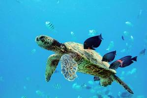 Turtle with small fish around it photo