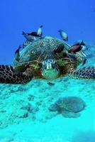 Sea turtle surrounded by fish photo