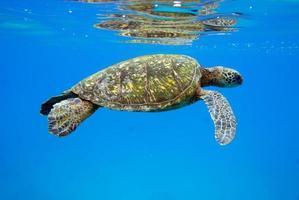 Sea turtle swimming underwater in Hawaii photo
