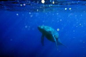 Large blue whale swimming from the abyss photo