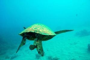 Sea Turtle swimming underwater photo