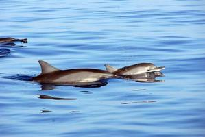 Two dolphins breaking the waters surface photo