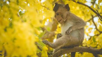 Retrato bebé macaco en una rama de árbol de casia fístula en Tailandia, el sudeste de Asia. flores amarillas de primavera, concepto de fondo de felicidad. foto