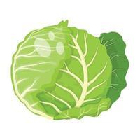 cabbage vegetable, vector illustration