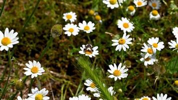 Argo Bronzeo Schmetterling auf einem Gänseblümchen im Sommer video