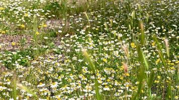 meadow of daisies in summer for the infusion of chamomile relaxing drink video