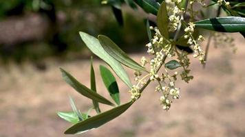 germoglio di ulivo in fiore pronto a far nascere l'olivo video