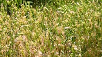 öronfält på sommaren född vilt redo för skörd video
