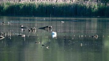 svanen rengör fjädrarna video