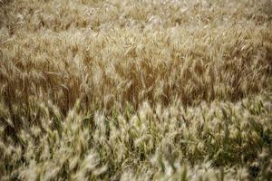 campo de trigo en la naturaleza foto