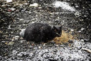 gato negro en la nieve foto