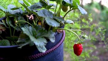 strawberry plant used as fruit production video