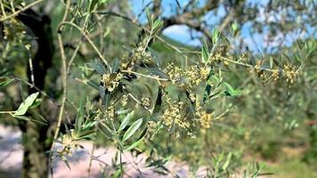 germoglio di ulivo in fiore in estate video