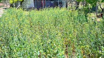 field of broccoli in bloom now never herringbone video