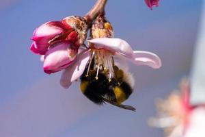 Bee collecting nectar from a pink flower photo
