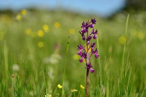 Jersey Orchid UK macro image of  marsh Spring wildflowers photo