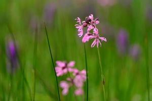 harapiento robin jersey reino unido pantano primavera flores silvestres foto