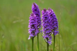 Southern marsh Orchid Jersey UK Spring marsh wildflower group photo