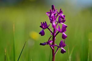 Jersey Orchid UK rare marsh Spring wildflower photo