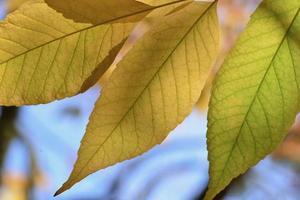 hojas de otoño jersey uk imagen abstracta de la luz del sol a través de hojas de haya foto