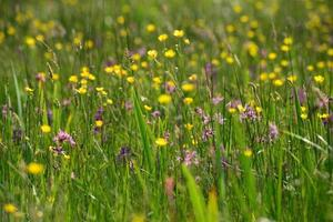 Spring meadow Jersey UK with wildflowers photo