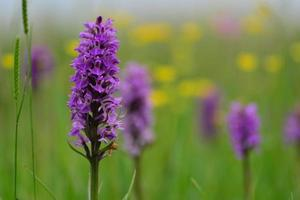 Southern marsh Orchid Jersey UK Spring wildflowers photo