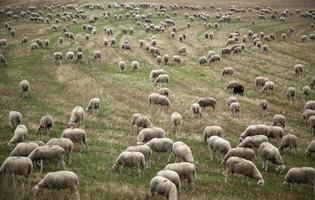 Sheep eating on a farm photo