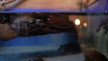 European Pond Turtle in Terrarium video
