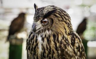 Wild trained owl photo