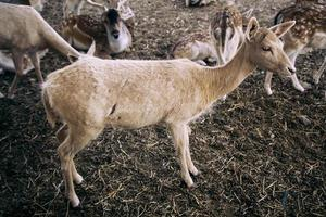 Ox in a farm photo