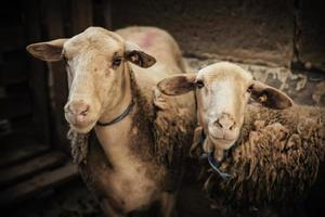 Domestic sheep in farm photo