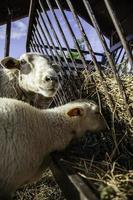 ovejas en corral animales de granja foto