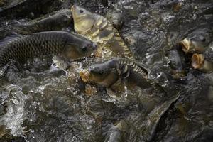 carpas en el río foto