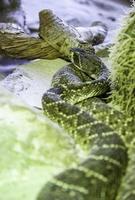 veneno de serpiente de cascabel salvaje foto