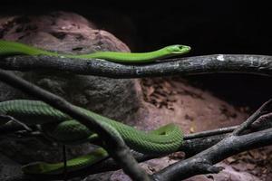Wild green mamba photo