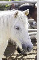 caballo de pura sangre español foto