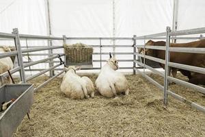 vacas en el establo descansando foto