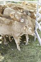 Young calves on a farm photo